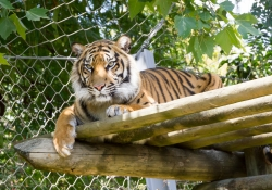 2015-07-lissabon-zoo-1-tijger-58e43b0f184500fa800bd9c871bbfcd01d1354c4