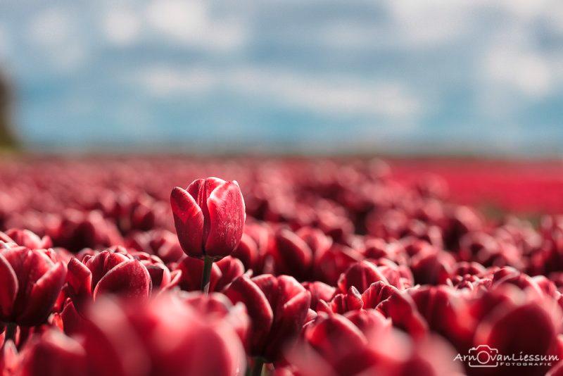Foto's van de tulpenroute